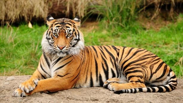 Bengal-Tigers